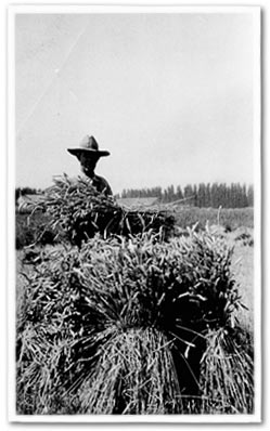 N.A. Pierson and his wheat crop