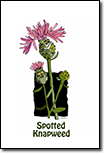 tradingcard_spottedknapweed_thumb