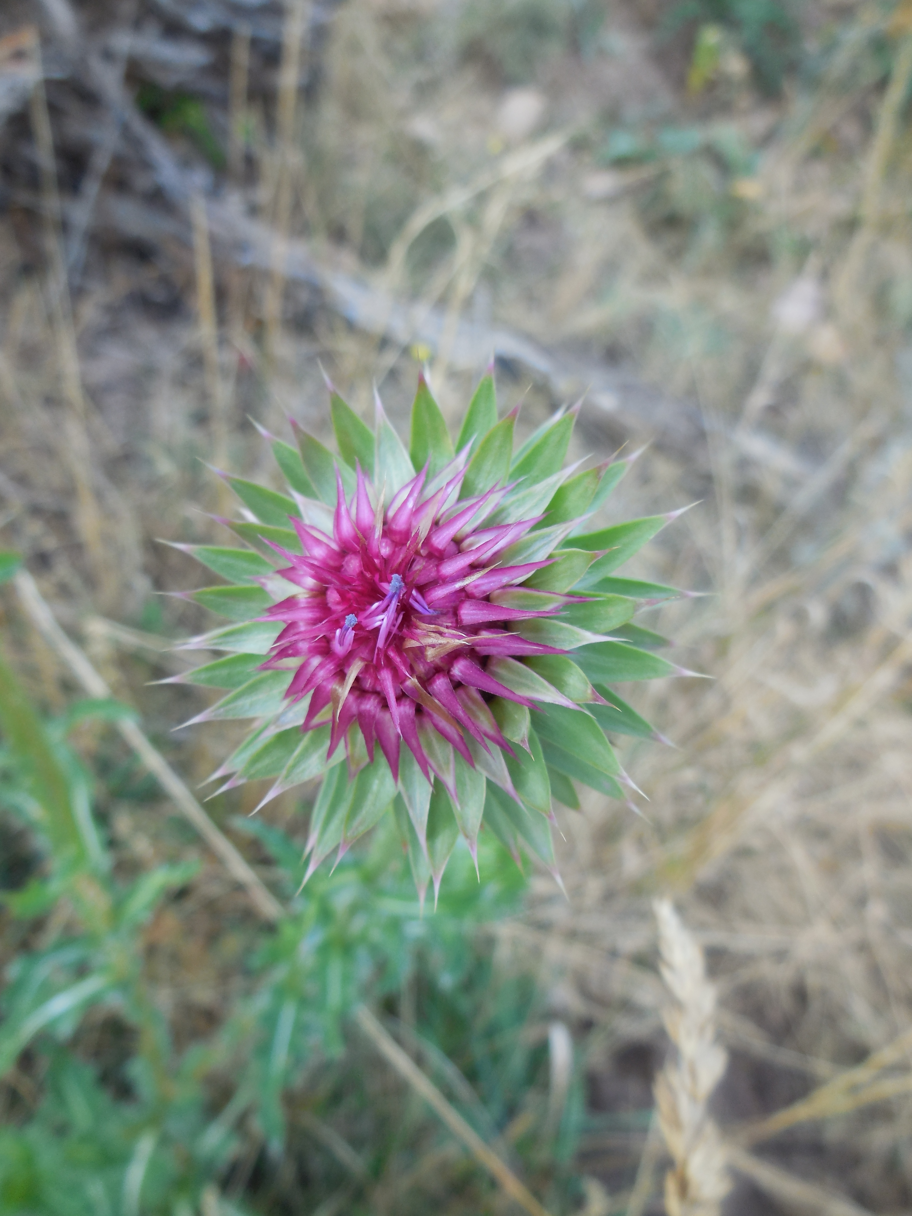 musk_thistle_8
