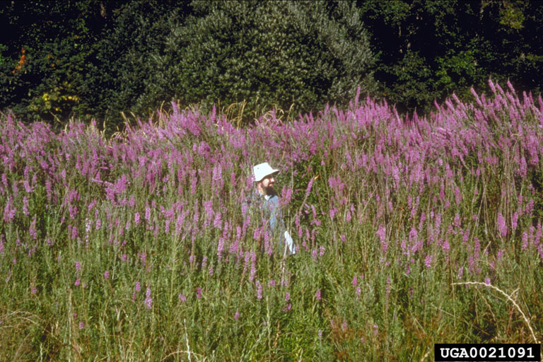 purple_loosestrife_7