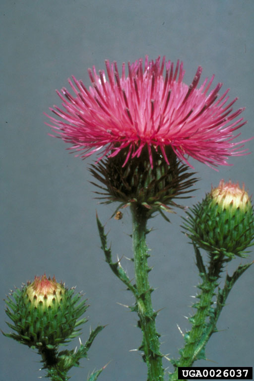 spiny_plumeless_thistle_1