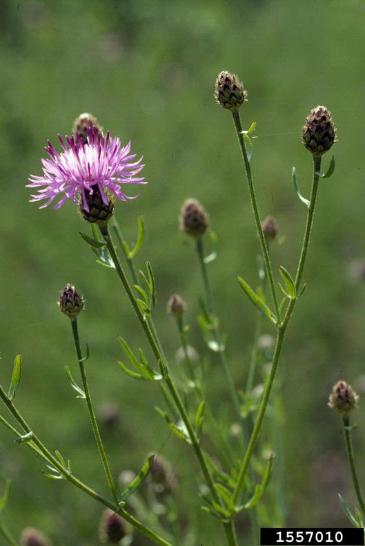 spotted_knapweed_1