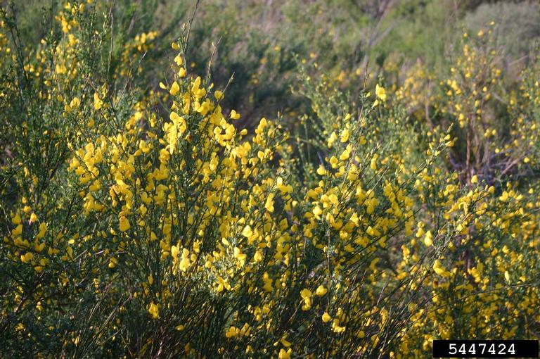 scotch_broom_3