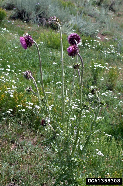 musk_thistle_5