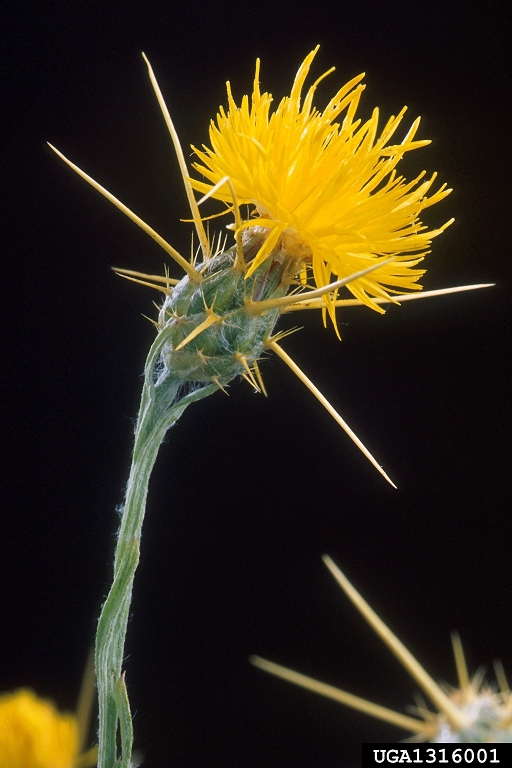 yellow_starthistle_1