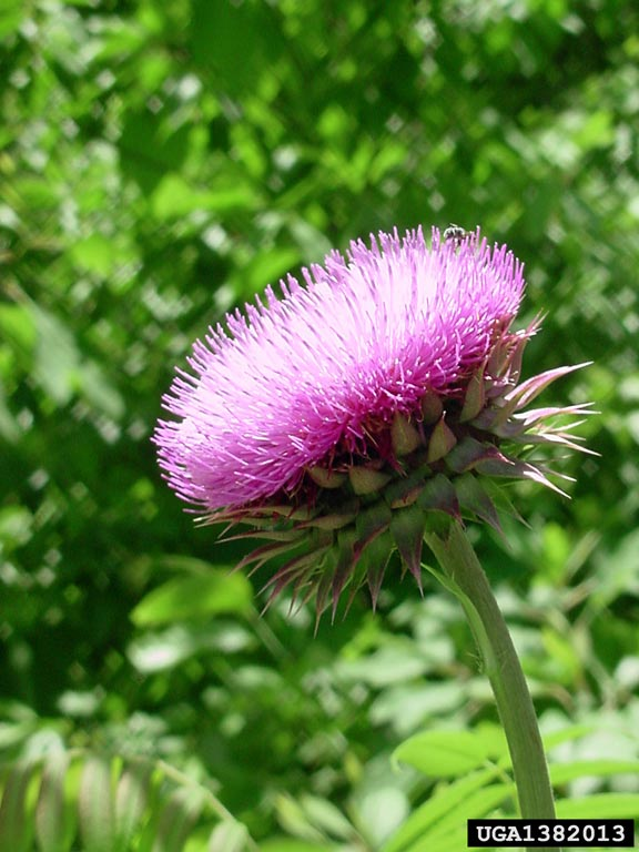 musk_thistle_1