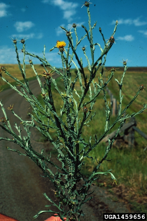 yellow_starthistle_3
