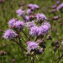 canada_thistle_3_tile