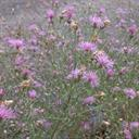 spotted_knapweed_3_tile