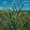 yellow_starthistle_3_tile