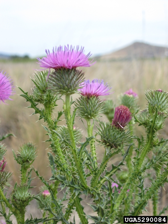 spiny_plumeless_thistle_8