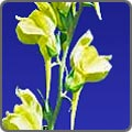 Dalmation Toadflax